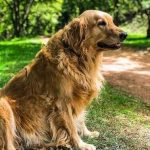 Golden Retriever – Facts, Price and Temperament Guide 2021
